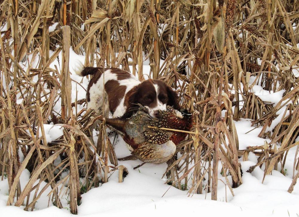 Собака для охоты на фазана