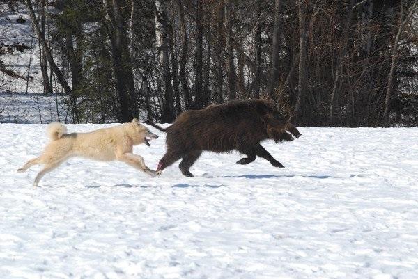 Охота с собаками на кабана