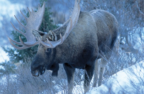 Самец лося зимой
