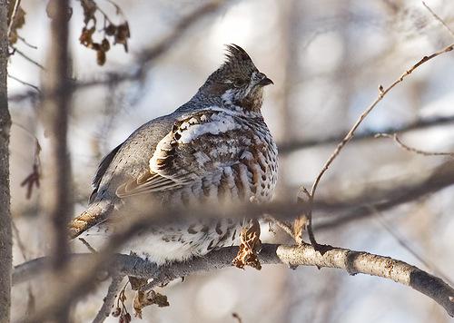 Рябчик зимой
