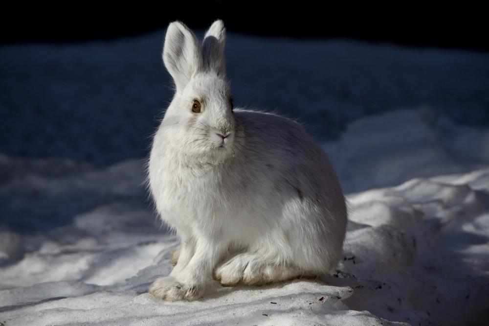 Белый заяц зимой