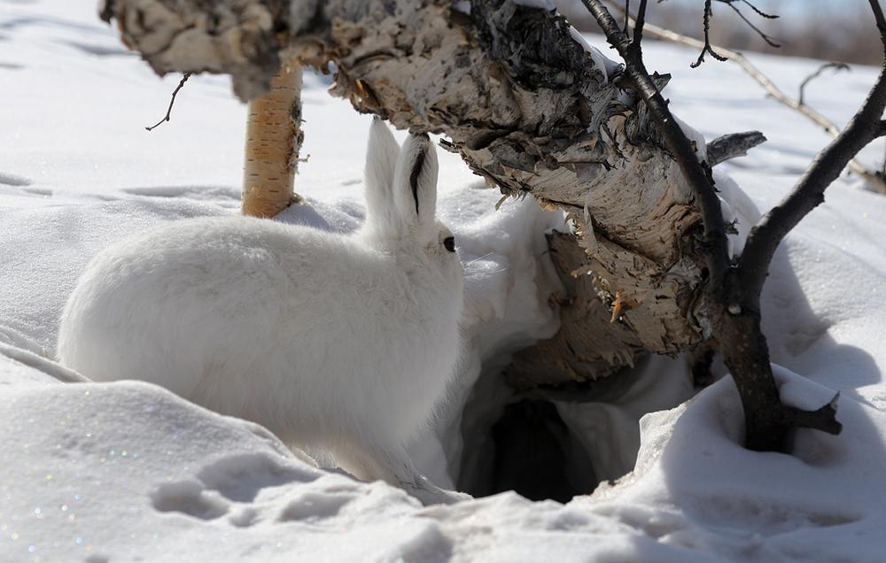 Места обитания зайца