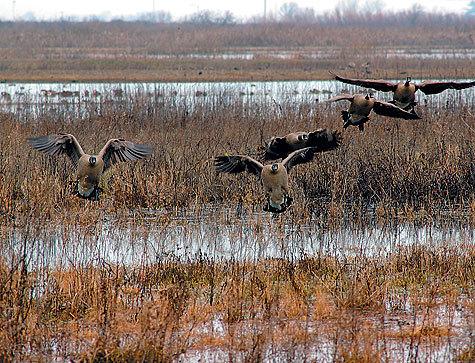Стая гусей на болоте