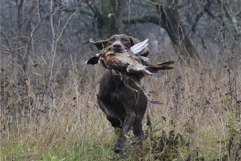 Курцхаар при охоте на фазана