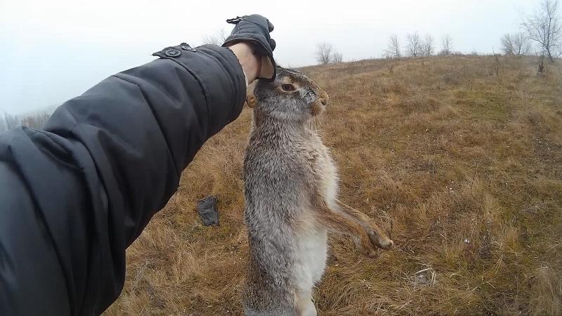 Добытый заяц с помощью курцхаара