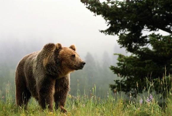 Медведь в лесу