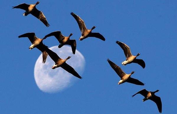 Стая гусей летит на ночевку
