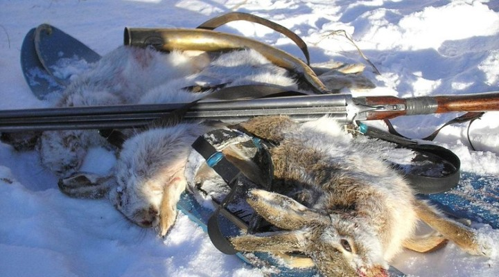 Добытые зимой зайцы