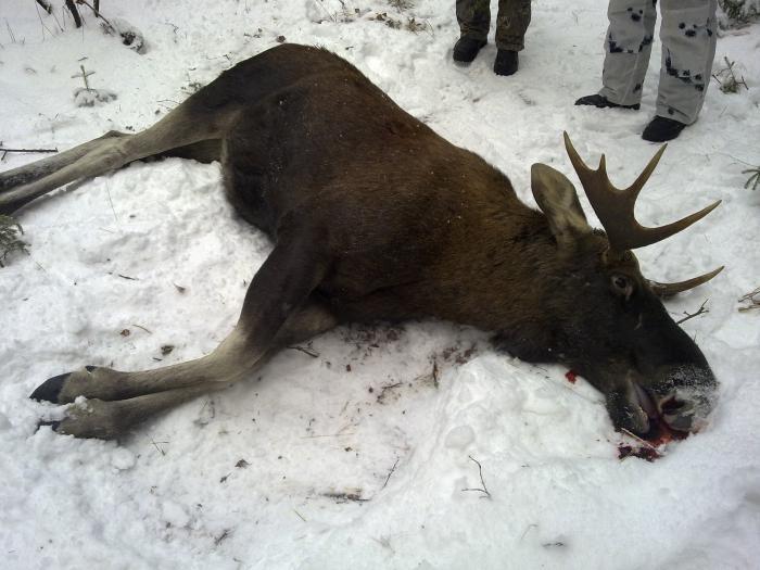 Убитый лось