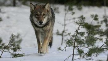 На волка зимой