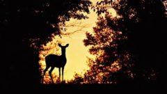 Охота на косулю ночью