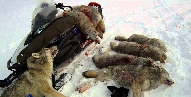 Убитые волки на охоте