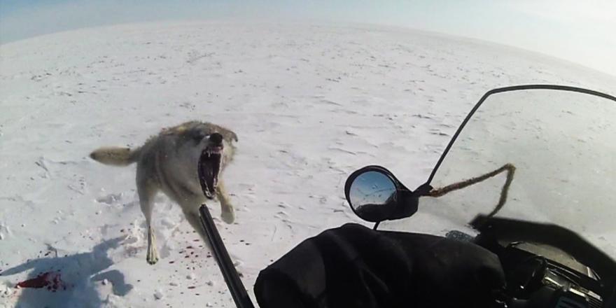 Волк бросился на охотника