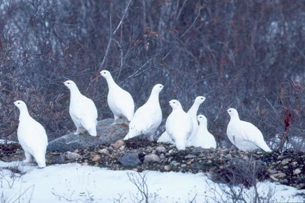 Белые куропатки