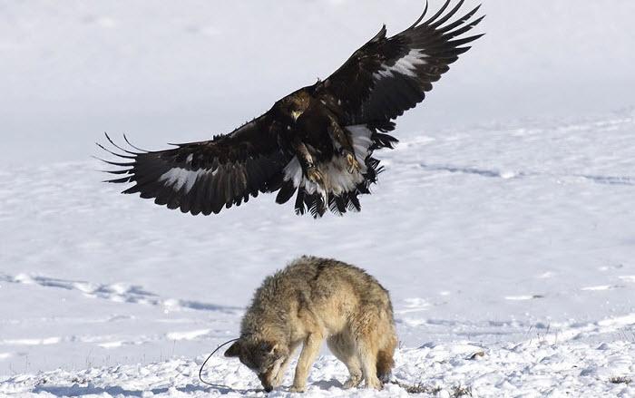 Беркут нападает на волка