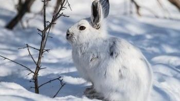 Петлями на зайца зимой
