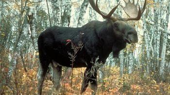 Охота на лося на солонцах
