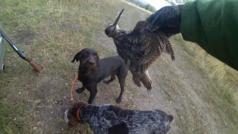 Собаки при охоте на вальдшнепа