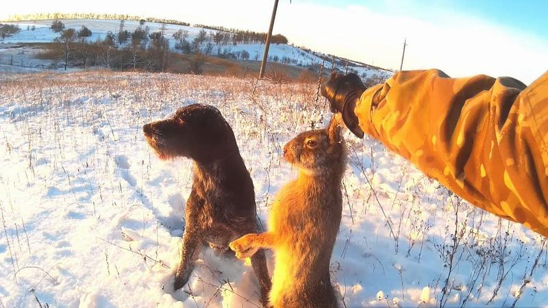 Охота с Дратхааром на зайца