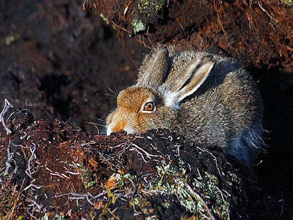 Затаившийся заяц