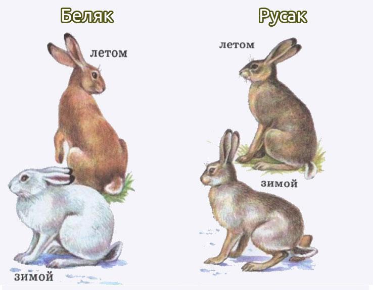 Сравнение видов зайцев