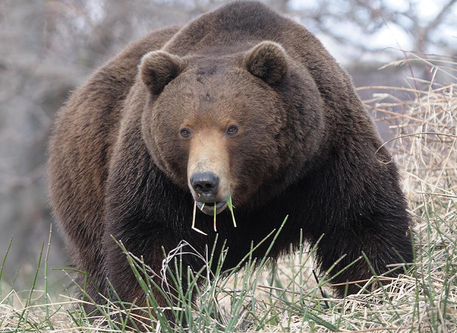 Настороженный медведь