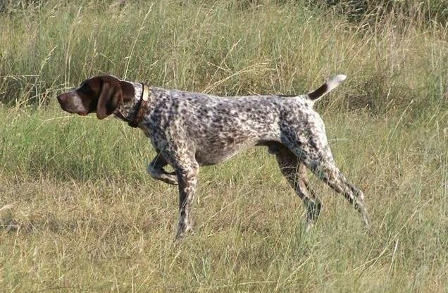 Стойка собаки при охоте на тетерева