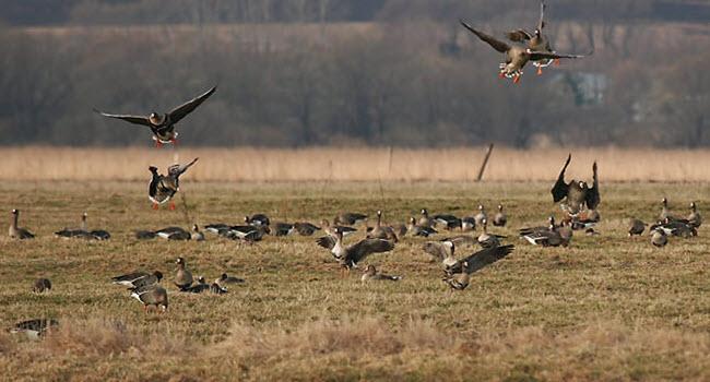 Утром гусей легко наталкивать под выстрел