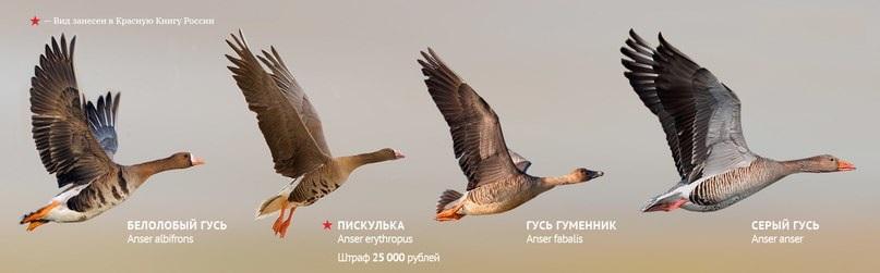 Виды гусей