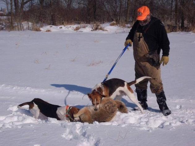 Собаки поймали лисицу