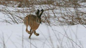 На зайца по первому снегу