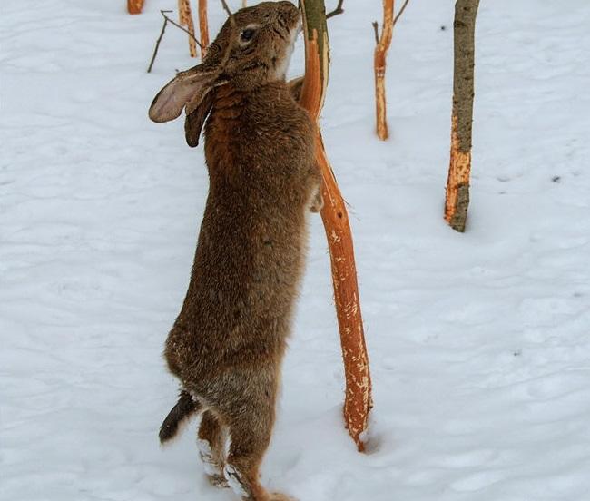 Кормежка зайца-русака
