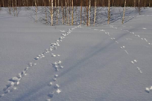 Заяц - мастер запутывать следы