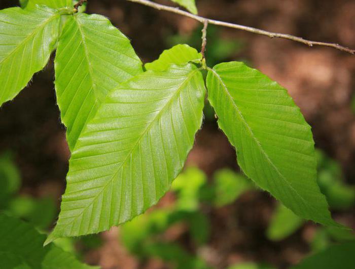 Подходящие для манка листы