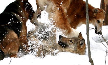 Борзые против волка