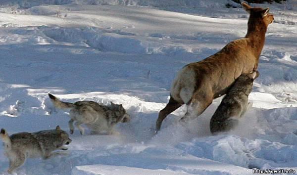 Волчья охота на копытных