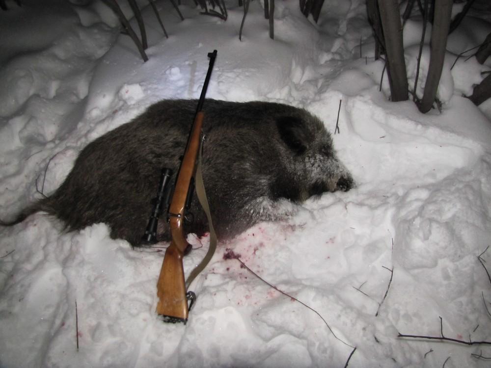 """Подстреленный с карабина """"Лось"""" Кабан"""