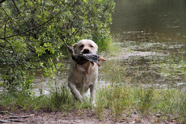 Собака несет подстреленную дичь