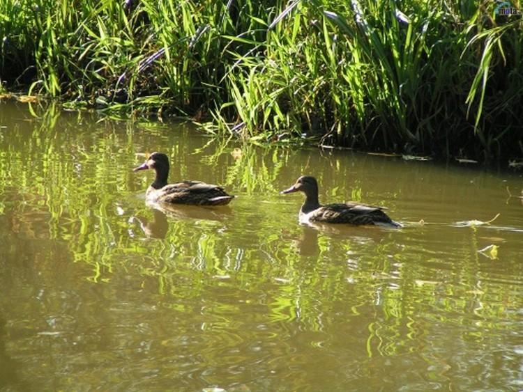 Дикие утки в пруду