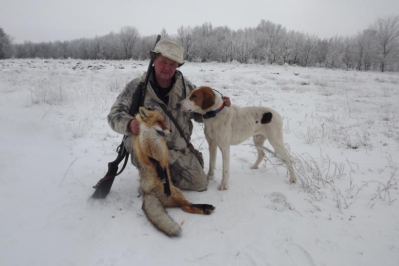 Добыча лисы с помощью гончей