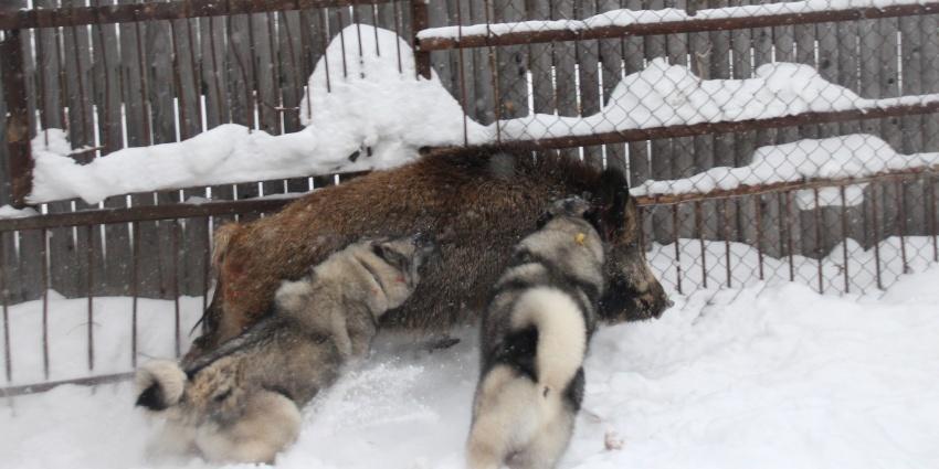 Притравка собак на кабана