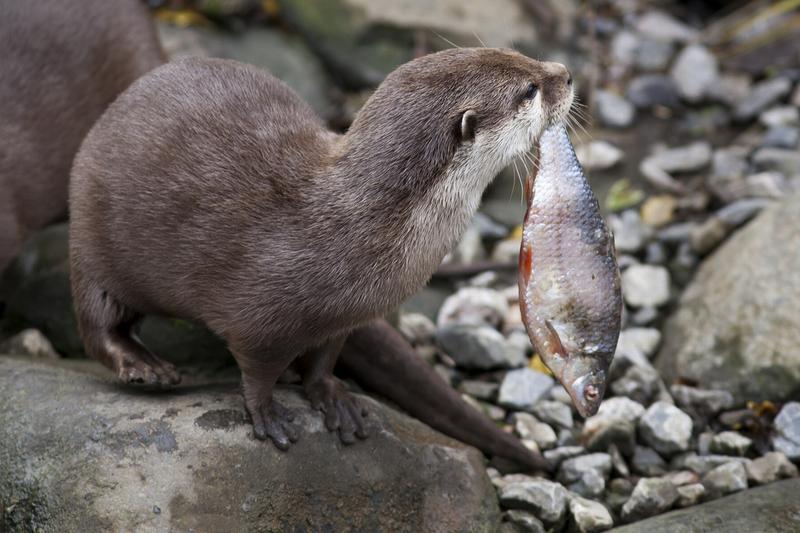 Выдра поймала рыбу