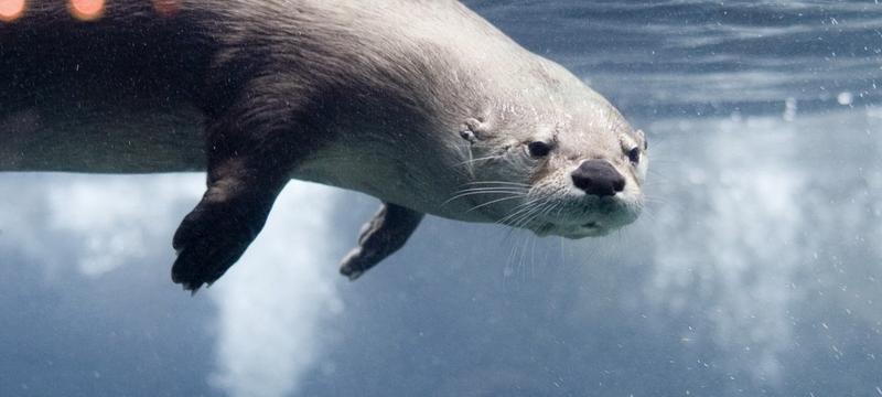 Передвижение выдры под водой