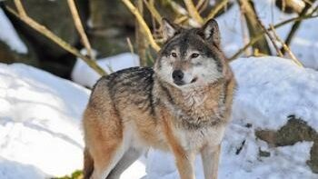 Охота на волка капканами