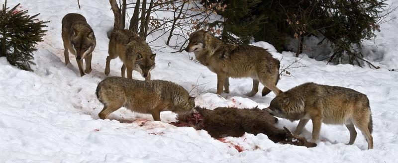 Волки на кормовой площадке