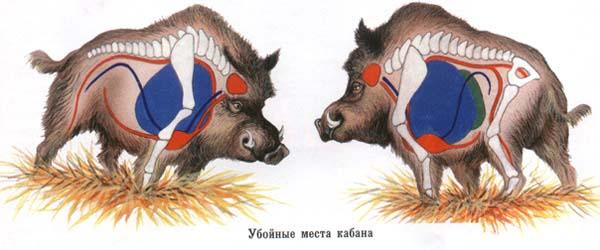Анатомия кабана