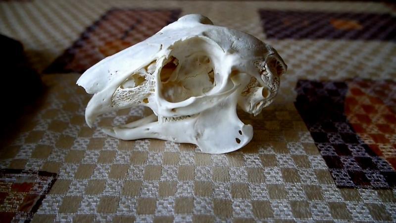 Очищенный череп