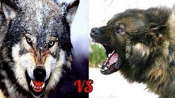 Какая собака может победить волка