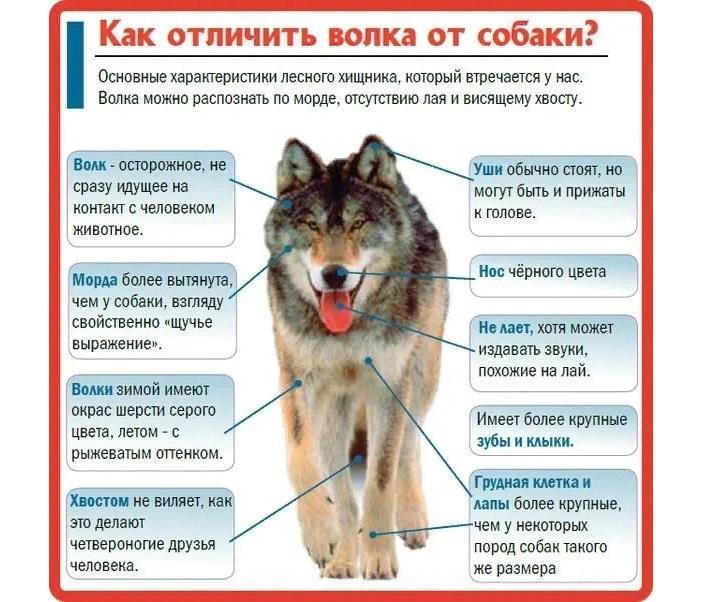 Чем отличается волк от собаки